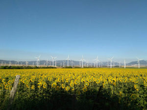 wind farm in field of sunflowers